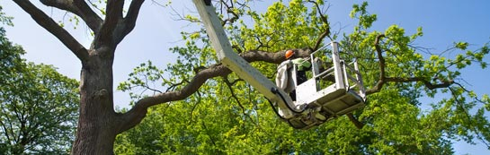 Maidenhead tree surgery services